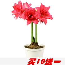 Holland imported double-top red seed ball potted plant root flower seedlings cold Autumn winter flowers