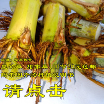 Forage queen sweet elephant grass taiwan sweet elephant grass Species festival perennial herbage attached planting data