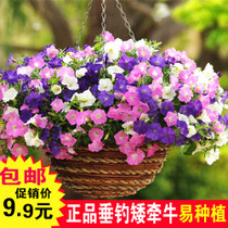 Petunia seeds Four Seasons suitable for cold and easy germination flower seeds potted plant flowers