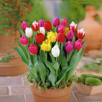 Tulip-Holland-Imported tulip seeds ornamental flower plant potted flowers
