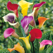 Tashas Garden colored Calla flower ball bulbs (pre-sale September delivery)