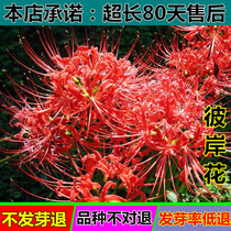 Flowers and plants of lycoris manjusaka--a flowering plant with roots in flower-green Mandala