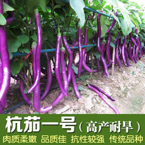 Early spring and Autumn season open-air cultivation of the seeds of Hangzhou eggplant eggplant tomato vegetable seeds