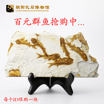 Specials Liao west natural Wolf fin fish fossil fish bare plate paleontological animal fossils science stone specimens