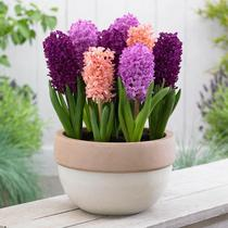 Pre-sale bulb Flower hyacinth seed ball Holland imported water Earth planted good incense 3 ball Pack 3 parts