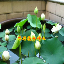 (Bowl lotus Seed) Four Seasons sowing bowl Lotus water cultivation aquatic lotus water lotus flower Lily