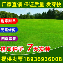 Imported lawn seeds slope protection grass seed Four Seasons Green lawn garden villa green grass species low resistance trampling seeds