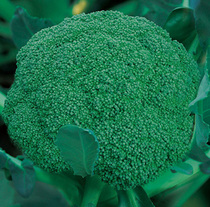 Broccoli seed Broccoli seed Baihuanana Songhua seed seeds Four Seasons can be sown in greenhouse vegetable seeds