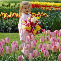 Rainbow Yue imported seed ball tulip Zhu Top red Grape hyacinth Narcissus and other garden ball root package