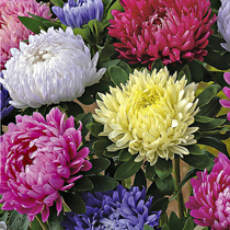 Aster seed August chrysanthemum Jiang Sila mixed color chrysanthemum balcony potted garden greening Four seasons sowing flower seeds