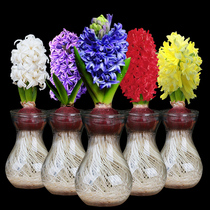 19.8 Yuan 3 sets of Hyacinth ball hydroponic set Four Seasons flowers potted flower green plant indoor flower seeds