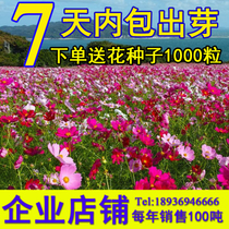 Gesang Flowers seeds Four Seasons mixed color colorful cosmos seed flower seeds easy to live flowering and constantly easy to grow flowers seeds