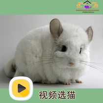 Store video selection Chinchilla live pet standard gray home silver plaque relatives small dragon cat package full section