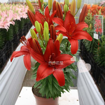 Chochowa House asian Lily Bulbs Dwarf No fragrance little hope Red 3-pack stock