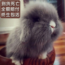 Pet Rabbit Dutch ear rabbit live dwarf rabbit lion couple rabbit cover cat rabbit mini Rabbit Baby