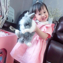 Pure Pet rabbit Angola Fengyulian Dodge Cat dwarf rabbit live dutch ear rabbit to protect health