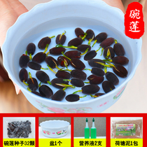 Bowl of lotus water cultivation flowering constant water lily seed Four Seasons indoor lotus seed basin planting seed aquatic lotus