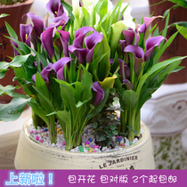 Holland imported colored Calla seed ball with bud perennial potted Flower Pack pair Edition
