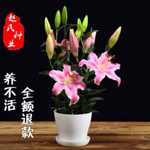 Imported Perfume Lily Flower with Bud Four Seasons Green potted flower balcony flower seedlings