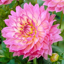 The imported flowers the flower the sweet flower the dahlia garden potted plants