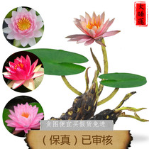 Pond basin Large Water lily pads root block hydroponic aquatic root block Big Sleep lotus root pack survival