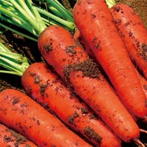 Three red five-inch carrot seeds seven-inch crisp sweet autumn Four Seasons Fruit radish seed farm field vegetable seeds