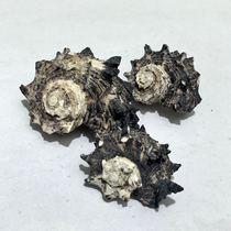 黑刺菊花 天然海螺 寄居蟹替换专用螺 鱼缸造景 寄居蟹房子