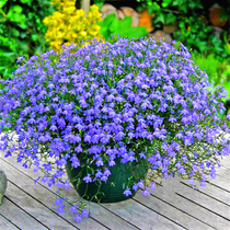 Six times times flower seeds balcony balloon flower potted hanging half lotus flower seeds blue balcony chlorophytum sunflower