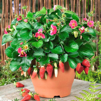 The seeds of vegetable plants in indoor potted plant for four seasons of strawberry Seed
