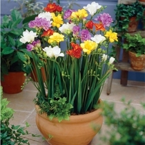 Imported double fragrant snow orchid bulbs Four Seasons potted flower plant Tulip Freesia tuberose Seeds