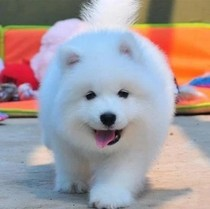 Thoroughbred Samoye Puppy Live Smile Angel Samoye Sleigh Dog Bear Edition Double Eye Pisamaye Pet Dog