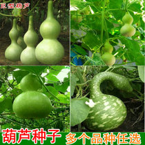 Garden Corridor Ornamental natural gourd Hand twist big small sub waist gourd seed can balcony potted wine gourd seeds