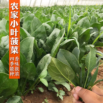 Small round leaf spinach seed Four Seasons big leaf seeds autumn Spring winter vegetable vegetables species now farming pastoral