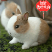 Pet dwarf rabbit living mini grow small tea cup rabbit water hyacinth cat rabbit ear rabbit