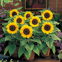 Sunflower seeds Ornamental sunflower sunflowers indoor balcony potted garden Four Seasons flower seeds