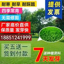 Import lawn seeds Four Seasons green not trim green turf grass seed courtyard Villa slope protection grass seed tall Fescue