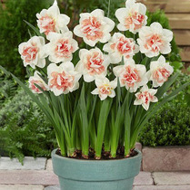 Daffodils seed ball indoor water cultivation plant hydroponic flowers Four Seasons flower seeds desktop purifying air flowers