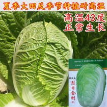 Improved scorching sun F1 summer Chinese cabbage seed heat-resistant 43 degree high-yield early ripening disease