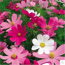 Four Seasons easy live high rod low bar mixed color cosmos seeds Gesang Flower Seed Project greening flower seeds