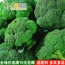 Four Seasons sowing vegetable seeds Luba king broccoli seeds flowers broccoli seeds Large area planting flower rapeseed