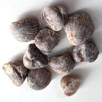 Quan Yuhua Owl head shell fossil Paleontological fossil About 3 cm 7777 Random