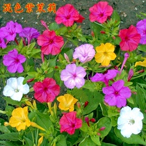 New purple jasmine seeds mixed color mirabilis jalapa mine flower balcony easy to grow potted multicolored fragrant jasmine seeds