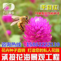 Evergreen Hundred day red Hot ball flowers and plants seeds Four Seasons sowing garden flower sea landscape flowering plant seeds