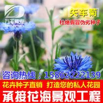 Blue Bonnet perennial perennial flowers and plants seeds Four Seasons sowing garden flower sea landscape flowering plant seeds