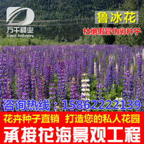 Lupin flowers perennial flowers and plants seeds Four Seasons sowing garden flower sea landscape flowering plant seeds