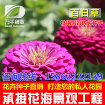 Hundred Day grass Hundred chrysanthemum flower seeds Four Seasons easy seeding live garden Villa flower sea landscape flowering plant seeds