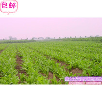 Xin da ye feed bitter endive vegetables bitter hemp vegetable forage seeds amino acid pig vegetable cold drought high yield direct