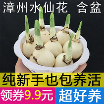 A potted plant for the cultivation of water and water in the winter in Zhangzhou narcissus seed bulbs Flowers