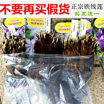 Imported Clematis root potted plant import flower seedlings courtyard plant climbing vine climbing flowers green planting vine climbing plants