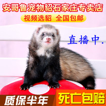 Anglo Pet Mink Living Angoru ferret Young mink small mink to protect the live Emma Day Demon mink Small Mink